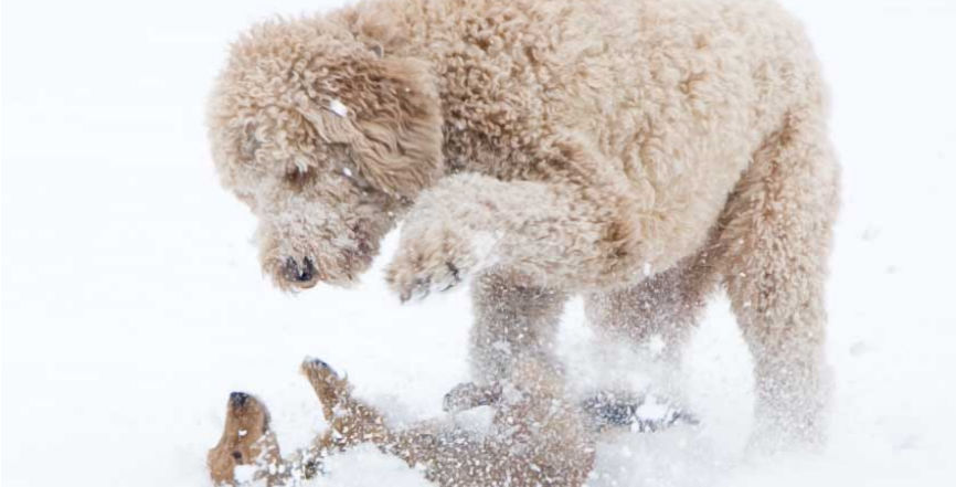 Wrestling dogs in snow