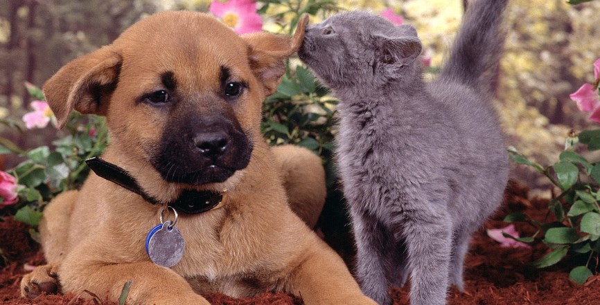 Russian Blue Kitten with Puppy